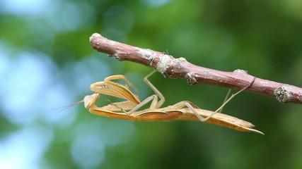 mantis is sitting on branch of tree - macro shot
