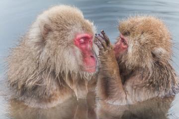 温泉に浸かるニホンザル  The Japanese monkey which enters the hot spring