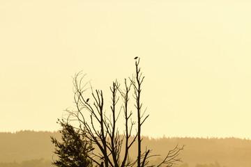 Grey Herons in sunset