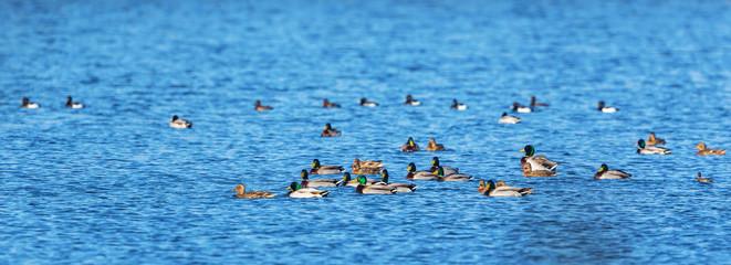 Flock of mallards ducks