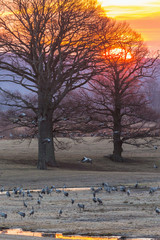 Cranes on a field at sunrise