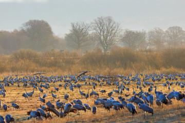 Cranes grazing in spring landscape