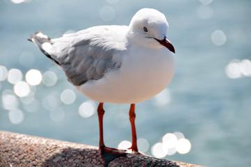 Gull or Seagull bird at Manly beach