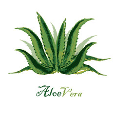 Watercolor background aloe leaves on white