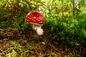 Bright mushroom in the forest
