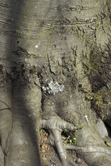 Fagus sylvica purpurea, Hêtre pourpre, écorce