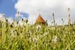 canvas print picture - Wiese mit Pusteblumen, meadow with dandelion