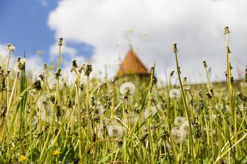Wiese mit Pusteblumen, meadow with dandelion