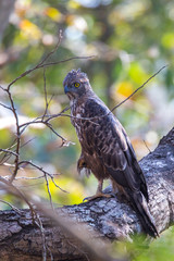 Crested Hawk Eagle in winter