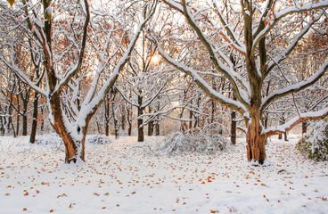 Maple park
