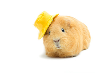 funny guinea pig in a hat