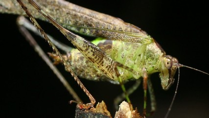 Small rainforest katydid