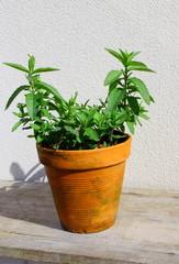 pot en terre de menthe aromatique