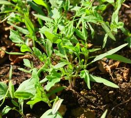 semis de plants de tomate,pour culture au potager