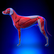 Dog Muscles Anatomy - Muscular System of the Dog - 78547098