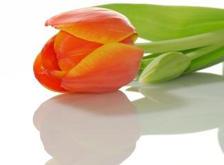 Orangefarbene Tulpe