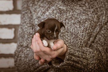 girl holding a chihuahua puppy
