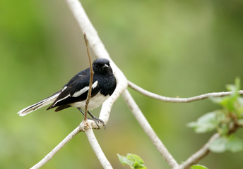 Beautiful male Oriental Magpie-Robin in Jhirna Forest