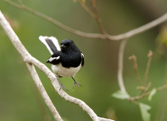 Magpie-Robin jumping on the branch
