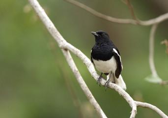 Beautiful male Magpie-Robin