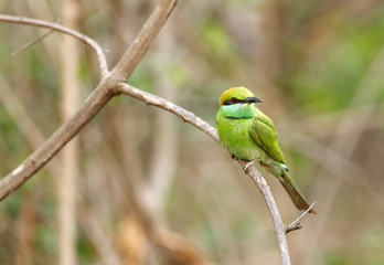 Green bee-eater in Jhirna Forest