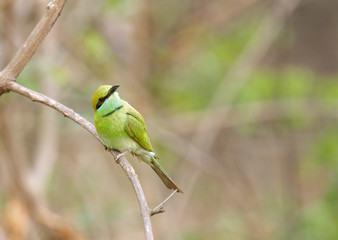Bee-eater in Jhirna Forest