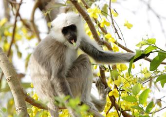 Grey langur sitting on a tree