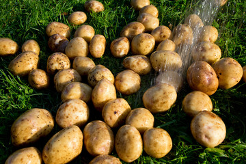 washing fresh potatoes