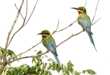 A pair of blue tailed bee eater