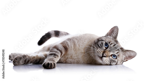 Staande foto Kat The striped blue-eyed cat lies on a white background.