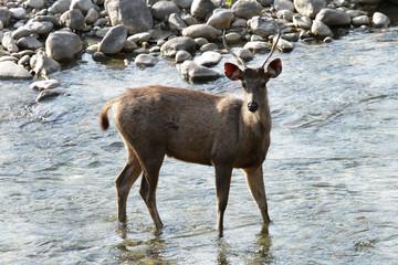 A Sambar deer standing in water