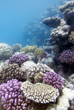 coral reef with hard violet hard corals in tropical sea
