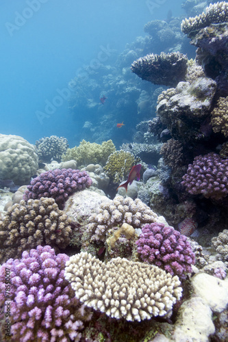Leinwanddruck Bild coral reef with hard violet hard corals in tropical  sea