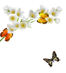 branch of jasmine flowers and butterflies