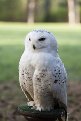 beautiful white owl - Snowy owl, Nyctea scandiaca