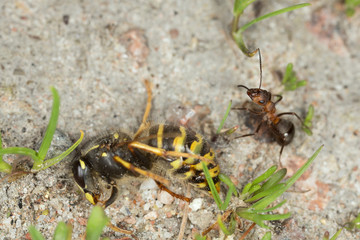 Wood ant and wasp