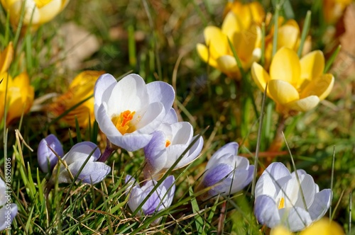 canvas print picture Krokus gelb - Crocus yellow 06