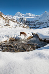 Aflinger horse goes drinking in a frosted creek of an alpine val