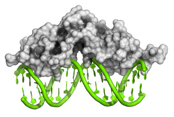 Glucocorticoid receptor, DNA binding domain bound to DNA.