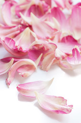 Lotus petals on white background with area for your text