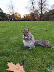 Squirrel at Cannizaro Park, Wimbledon, London