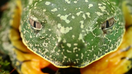 Amazon leaf frog (Cruziohyla craspedopus) blinking