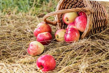 Ripe apples scattering from wicker basket