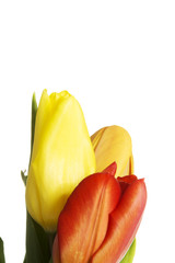 Close up on group of tulips
