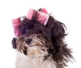 Kleiner Hund mit Lockenwicklern