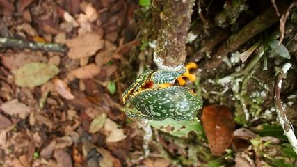 Amazon leaf frog (Cruziohyla craspedopus) climbing