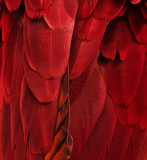 Red/Maroon Feathers