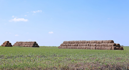 Harvested hay rolls lying on the field