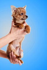 Beautiful chihuahua dog  on blue background