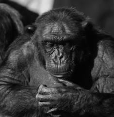 Chimpanzee monochrome portrait